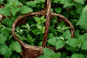 CAN YOU HELP SCIENCE? YES YOU CAN… SPICED NETTLES WITH GREEN OLIVES